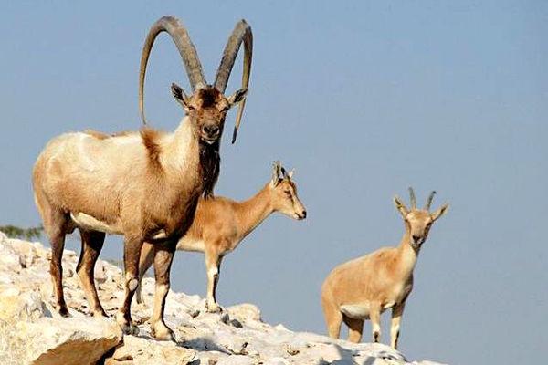 اولین بزغالههای دورگه آلپاین- محلی در استان فارس به دنیا آمدند