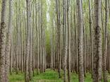 تولید 5.5 میلیون قلمه صنوبر برای اجرای طرح توسعه زراعت چوب در کشور