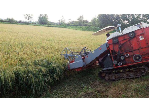 برداشت مکانیزه 95 درصدی برنج در جویبار