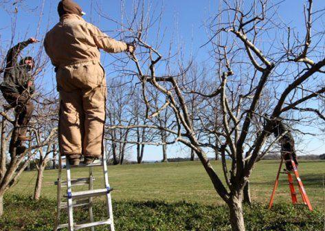 پرهیز باغداران از تعجیل در هرس درختان میوه