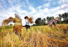 آغاز برداشت برنج در مزارع کشت مجدد و رتون آمل/ تولید 58 هزار تنی