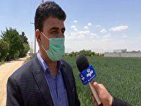 کاهش هزار هکتاری سطح زیر کشت غلات در برخوار