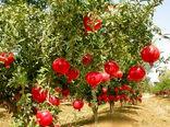 برداشت انار در سطح ۴۳۰ هکتار از باغات ایلام آغاز شد