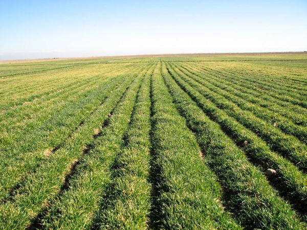 آغاز مبارزه با علف های هرز در 3490 هکتار از مزارع کشاورزی شهرستان بوئین زهرا
