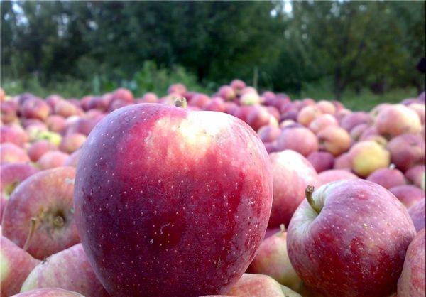 ۱۷۰ تن سیب دماوند به قزاقستان صادر شد