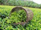 آغاز چین دوم برگ سبز چای از اواخر خردادماه