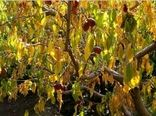 خشکسالی ۳۵ درصد محصولات باغی خراسان شمالی را کاهش داد