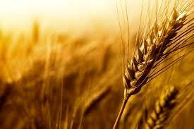 خرید تضمینی بیش از ۹۰ هزار تن گندم در همدان