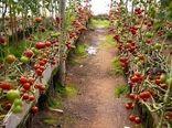 توسعه کشتهای گلخانهای راهبردی برای جهش تولید در منطقه سیستان