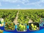 برداشت بیش از 121 هزارتن میوه گرمسیری در سیستانوبلوچستان