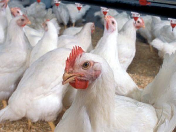 تولید سالانه 1750 تن گوشت مرغ در شهرستان نیر