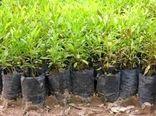 توزیع ۷ هزار اصله نهال صنوبر رایگان برای اجرای زراعت صنوبر بین متقاضیان در شیروان