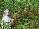 کشت 50 نوع گیاه دارویی با ارزش صادراتی در خوزستان
