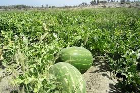 برداشت هندوانه در شهرستان چرداول آغاز شد