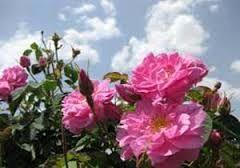 برداشت گل محمدی از سطح 200 هکتار گلستانهای گل محمدی در شهرستان بافت