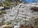 سرمازدگی باغات بادام در شهرستان نایین