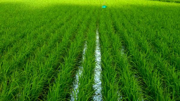 قیمت برنج دولتی 10 هزارو 300 تومان به دست مصرف کننده میرسد