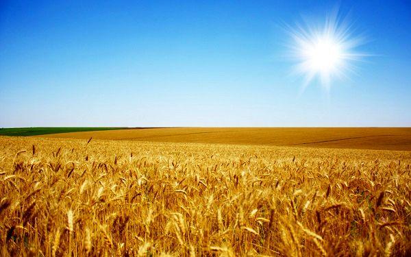 هدفگذاری تولید بیش از ۱۳ میلیون تن گندم در برنامه ششم