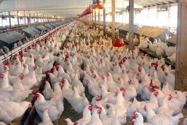 به جای نهاده، آرد نصیب مرغها شد