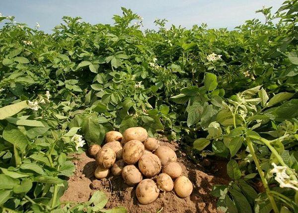 هیچ مشکلی در تولید بذر سیب زمینی نداریم