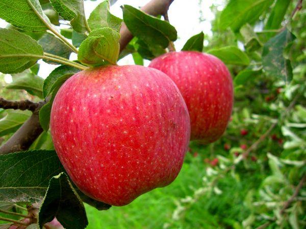 تولید ١٤٣ کیلو محصولات باغی به ازای هر ایرانی
