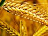 سن زدگی گندم نزدیک به صفر بوده است