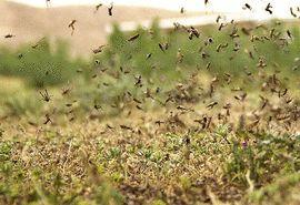 هجوم ملخ ها به اراضی کشاورزی استان بوشهر تحت کنترل است