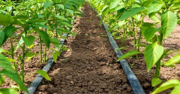 اجرای آبیاری تحت فشار، ضرورتی انکار ناپذیر در بخش کشاورزی آذربایجان غربی
