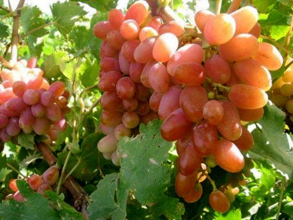 انگور مهمترین محصول باغی خراسان شمالی