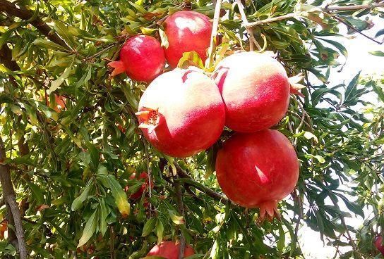 پیشبینی تولید بیش از 50 هزار تن انار در داراب