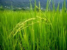 افزایش تولید مکانیزه برنج از راهکارهای کاهش هزینه این محصول است