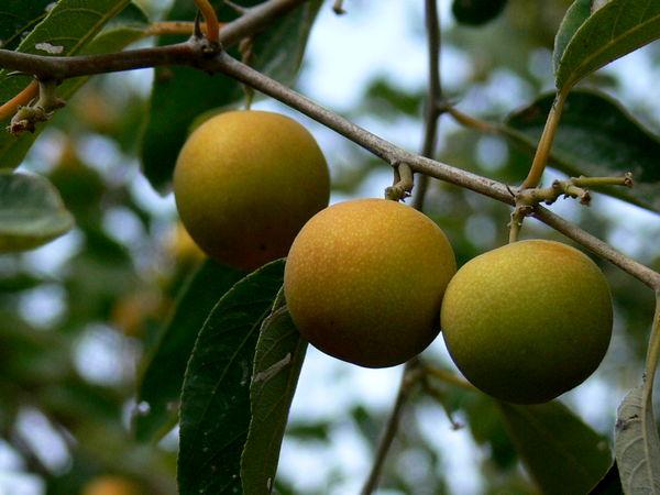 سیستان و بلوچستان مهد میوه های گرمسیری
