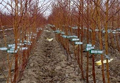 کاشت نهال مقاوم به سرما  در باغات استان  قزوین