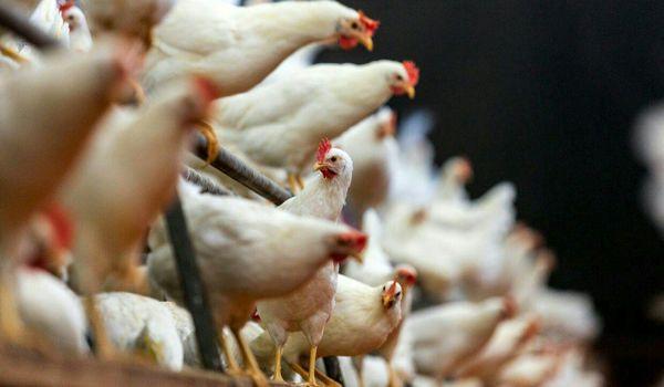 واردکنندگان پیشپرداخت خرید مرغداران را بازگرداندند