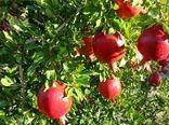 تولید 28 هزارتن انار در مرودشت
