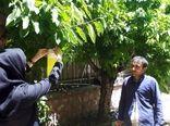 فعالیت شبکههای مراقبت برای  ردیابی آفات مگس گیلاس و کرم سیب در باغات شمیرانات