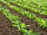 تولید 90 هزار تن شکر با توسعه کشت پاییزه چغندرقند
