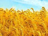 خرید تضمینی ۱۲۱ هزار تن گندم از کشاورزان اصفهانی