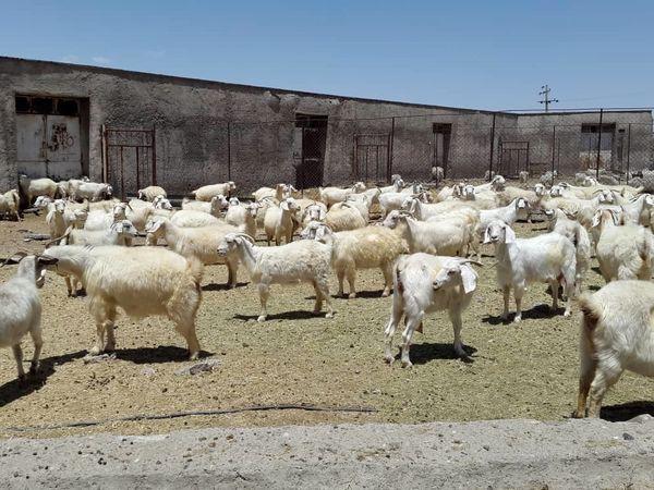رتبه کرک کرمان در گروی فعالیت ایستگاه بز کرکی شهرستان بافت