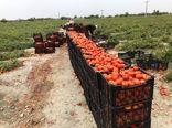 برداشت 45 هزارتن گوجه فرنگی درسیستان وبلوچستان