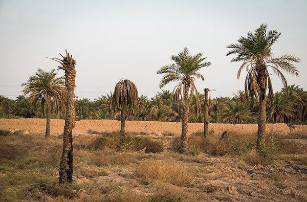 وزارت امور خارجه به کمک صادرات خرما میآید