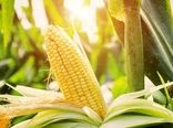 تولید 10 هزار تن بذر هیبرید ذرت در سال 1400