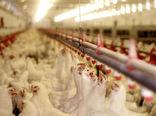 تکذیب استفاده از تریاک در صنعت پرورش طیور گوشتی