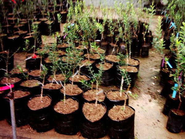 گواهی تولید سه میلیون اصله نهال در استان قزوین صادر شد