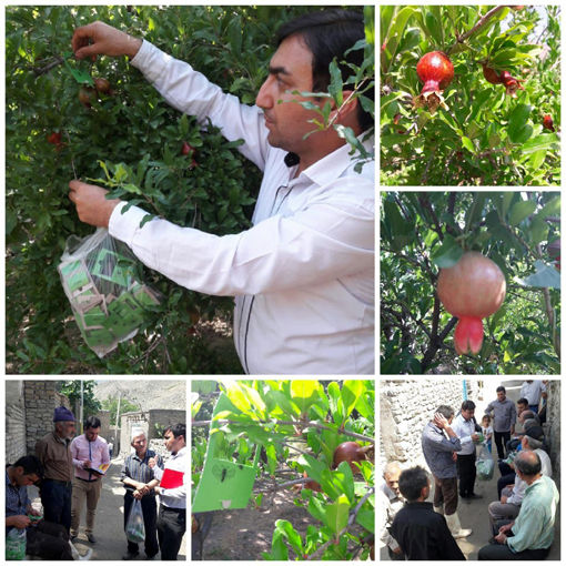 انجام عملیات کنترل بیولوژیک و غیر شیمیایی 20 هکتار از باغات انار در جلفا