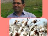 اختصاص ۴۳۰ هکتار از اراضی کشاورزی دهلران به کشت محصول پنبه