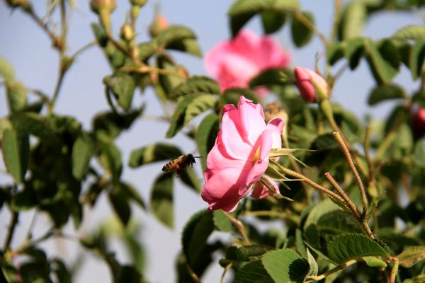 شمیم عطر گل محمدی در گلستانهای بروجن