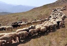 میزان تولید گوشت عشایر خراسان شمالی 20 درصد افزایش می یابد