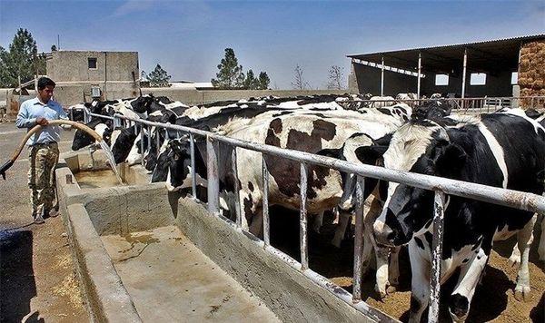 تولید شیر در ابرکوه به روزانه ۷۰ تن رسید