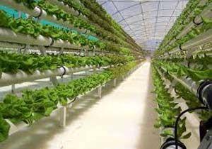 26 هکتار سطح زیر کشت گلخانهای در سیرجان